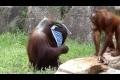 Orangutang svalkar sig som en människa