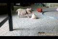 Söt liten gris leker!