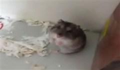 hamster får hjärtattack
